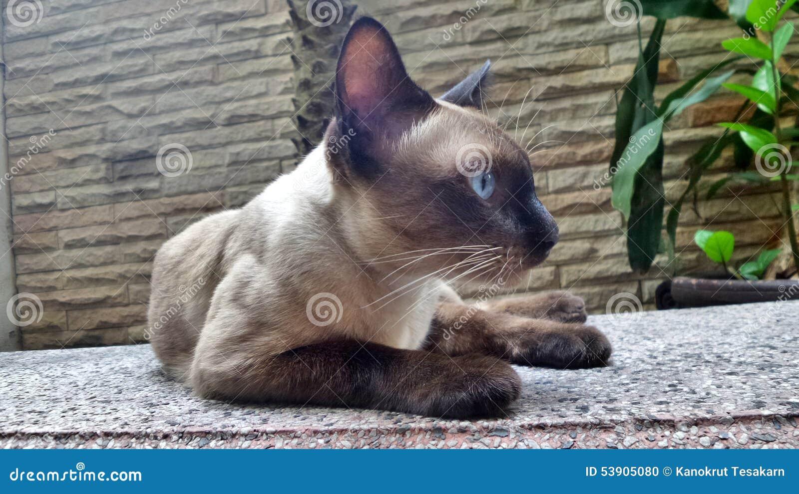 Gatto Siamese Sul Banco Del Giardino Fotografia Stock Immagine Di