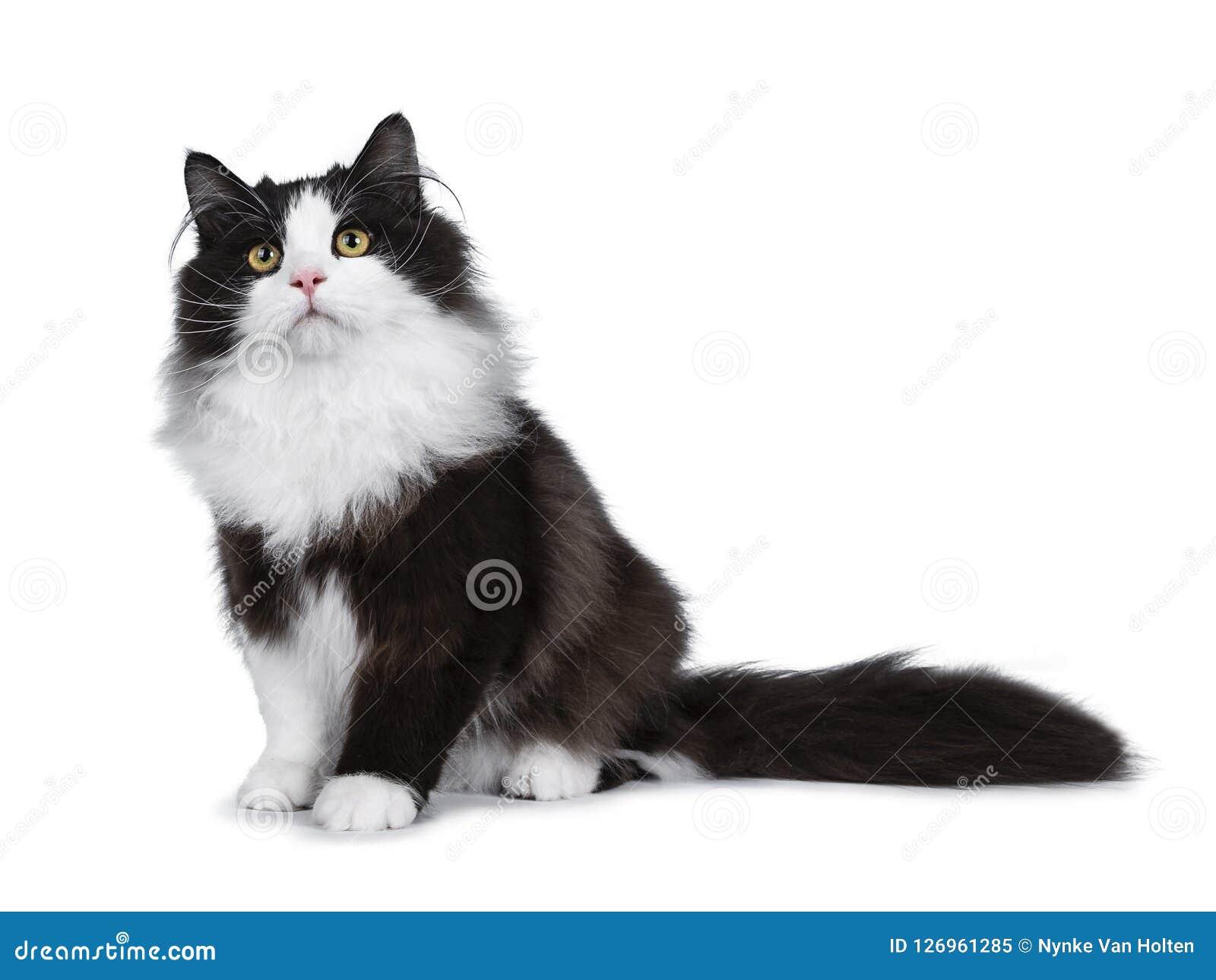 Gatto Siberiano Del Fumo Nero Adorabile Isolato Su Fondo Bianco