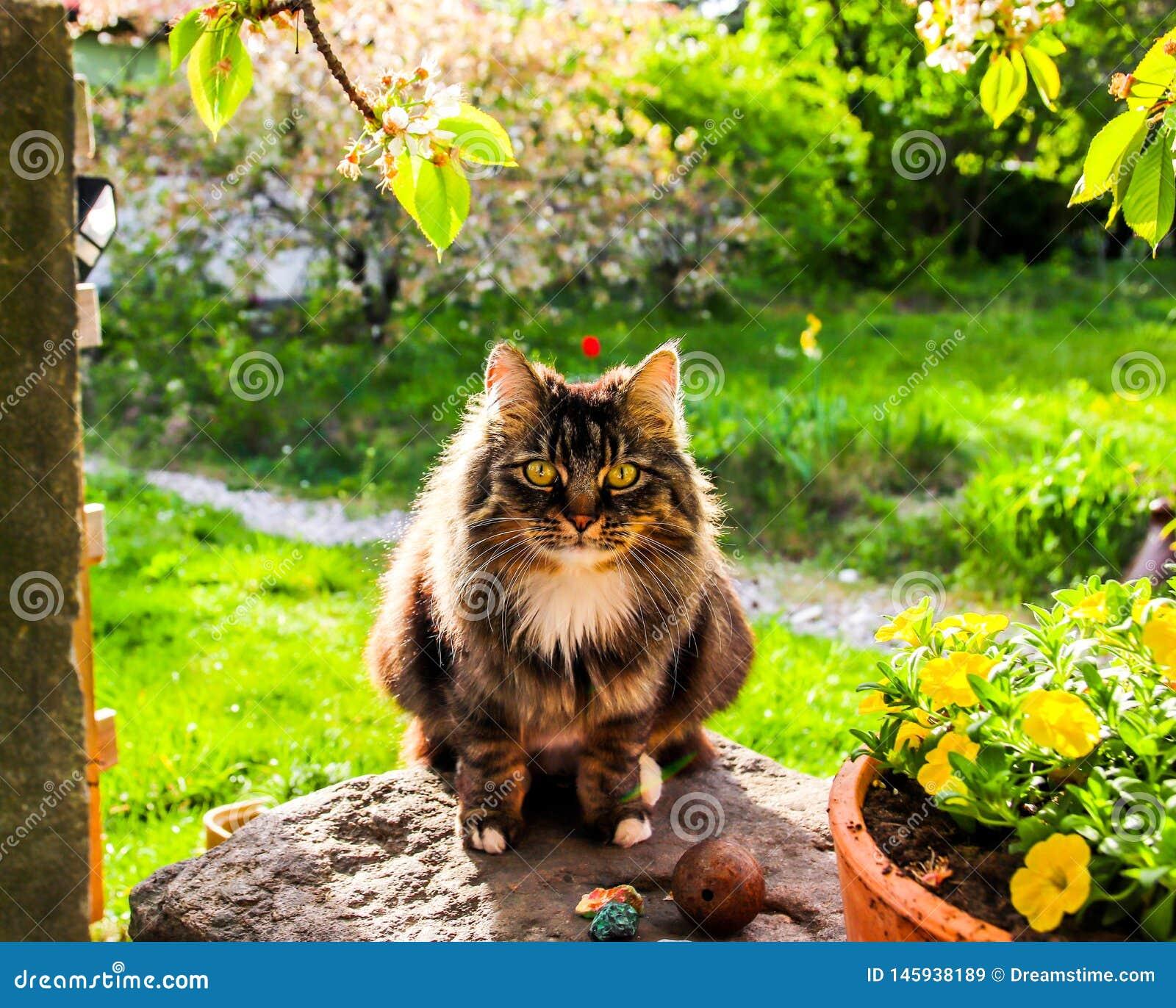 Gatto siberiano molto bello e sveglio nel giardino