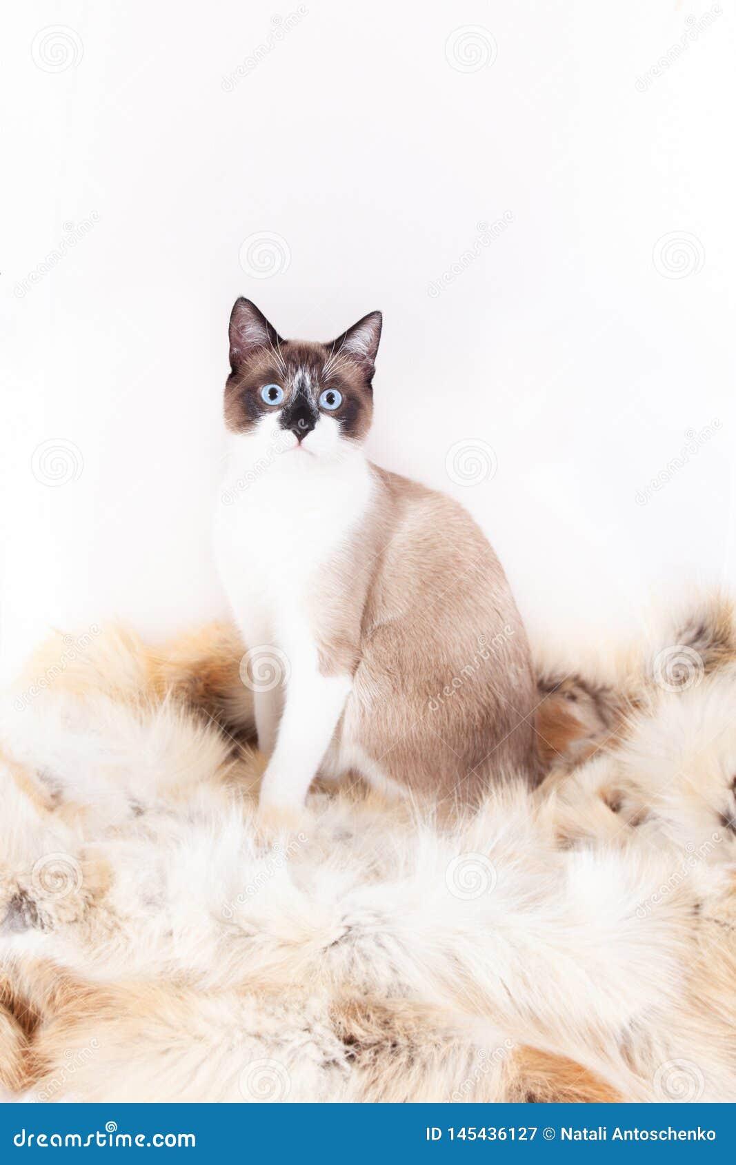 Gatto tailandese siamese che si siede su una coperta della pelliccia per gli animali domestici, isolata sui precedenti bianchi