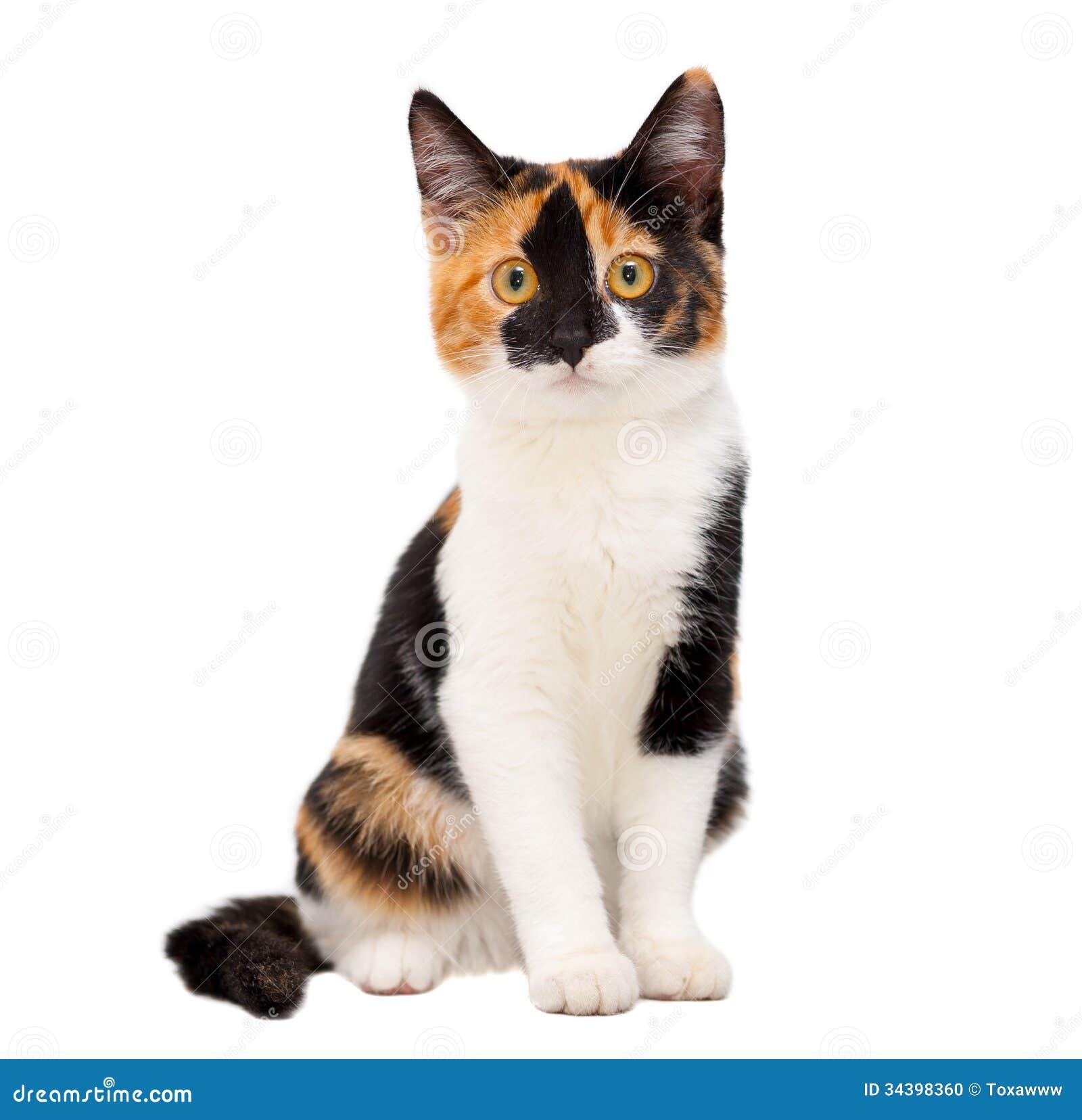 Gatto a tre colori della tartaruga giovane fotografia - Immagine del gatto a colori ...