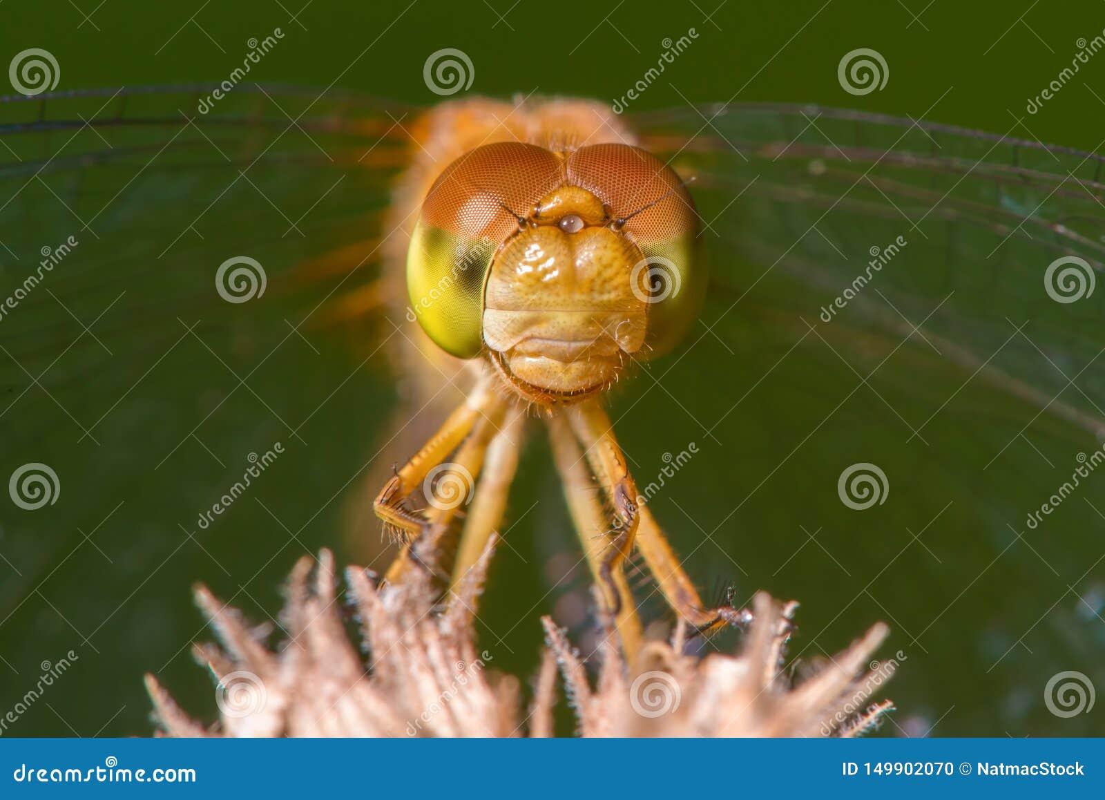 Gatunki brać przy Drewnianym Jeziornym natury centrum w Minnestoa meadowhawk dragonfly - krańcowy zbliżenie twarz i oczy -