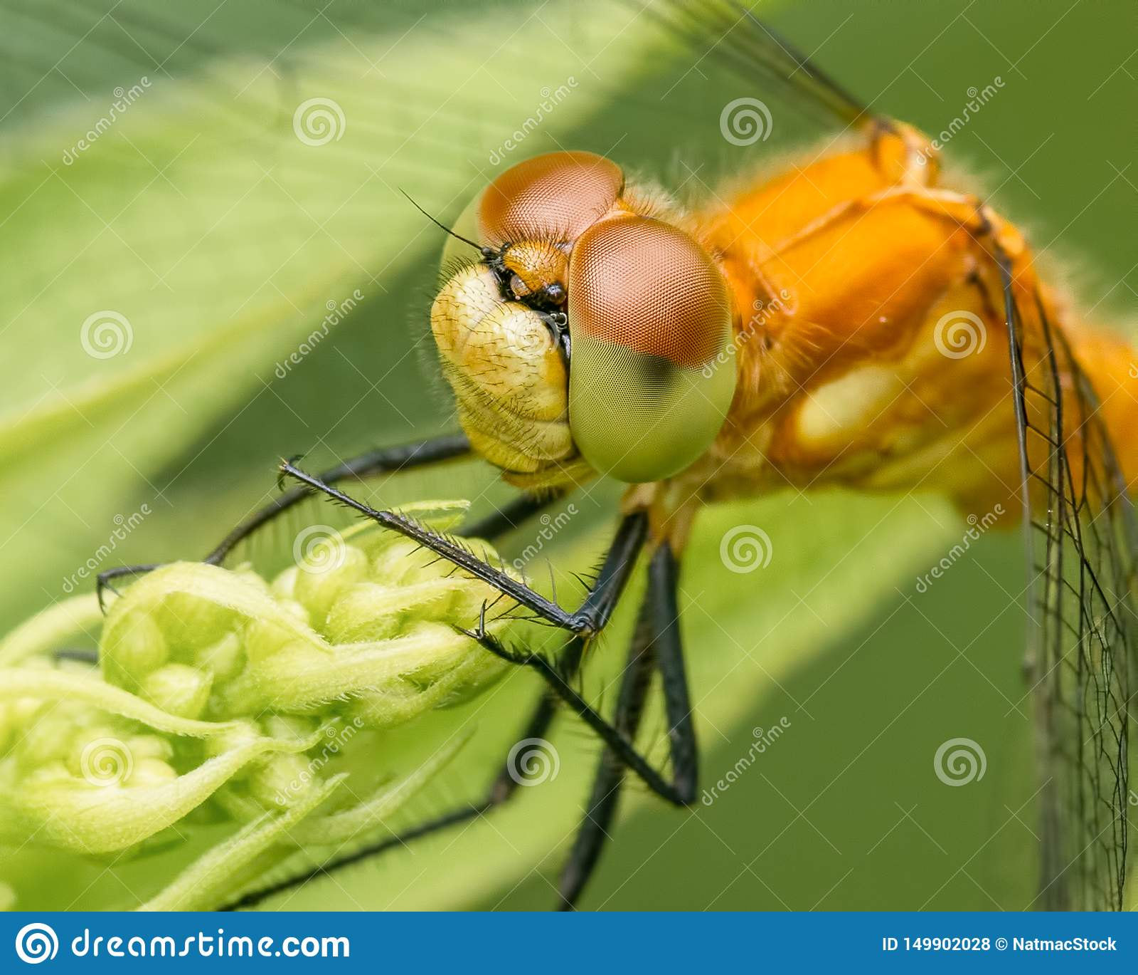 Gatunki brać przy Theodore Wirth parkiem w Minneapolis meadowhawk dragonfly - krańcowy zbliżenie twarz i oczy -