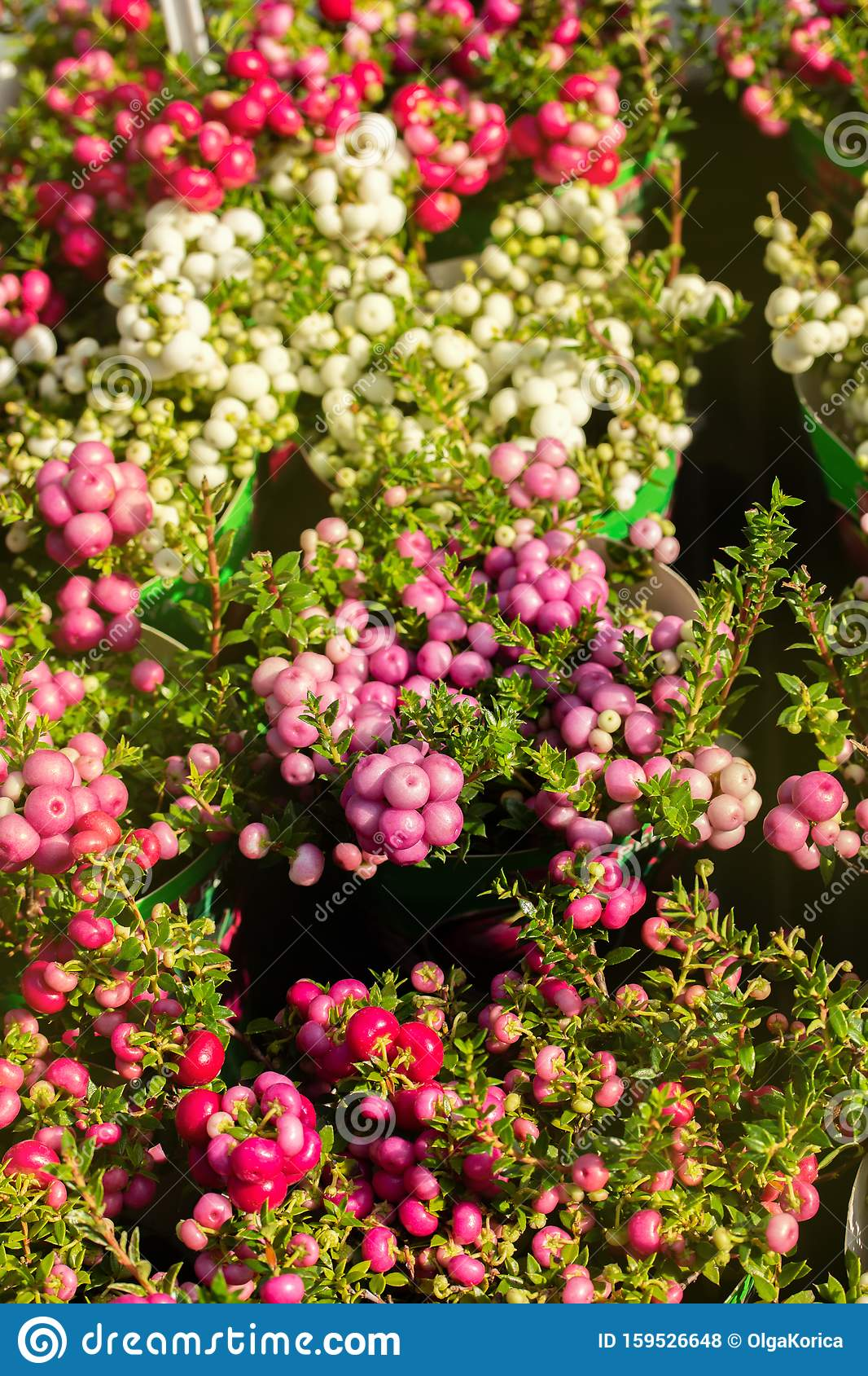 Pernettya Berries.Gaultheria Mucronata Ripened Autumn Fruits Berries White Pink Pernettya Background Vertical Stock Photo Image Of Garden Beautiful 159526648