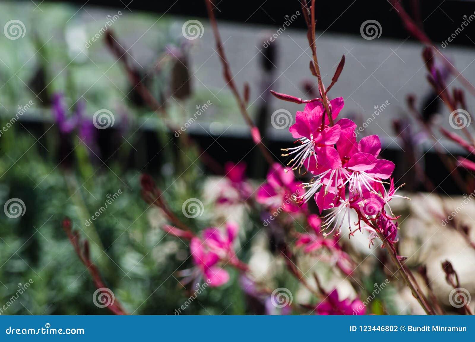 Gaura Belleza menchie kwitną w wiosna sezonie przy ogródem botanicznym