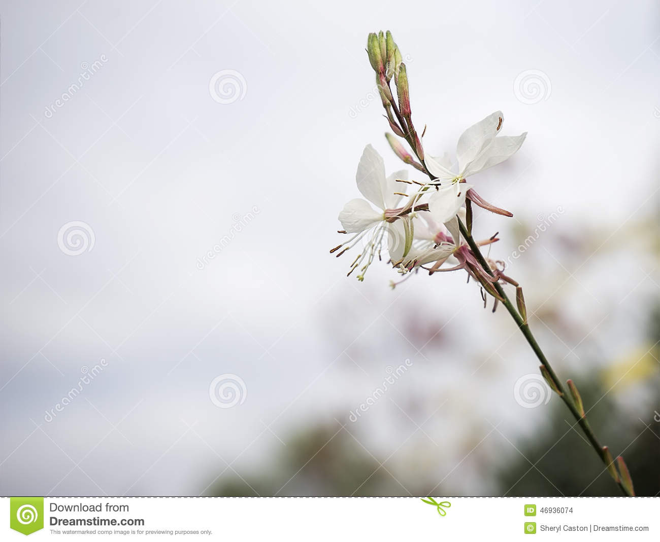 Gaura Flower With Neutral Copy-space Stock Photo - Image: 46936074
