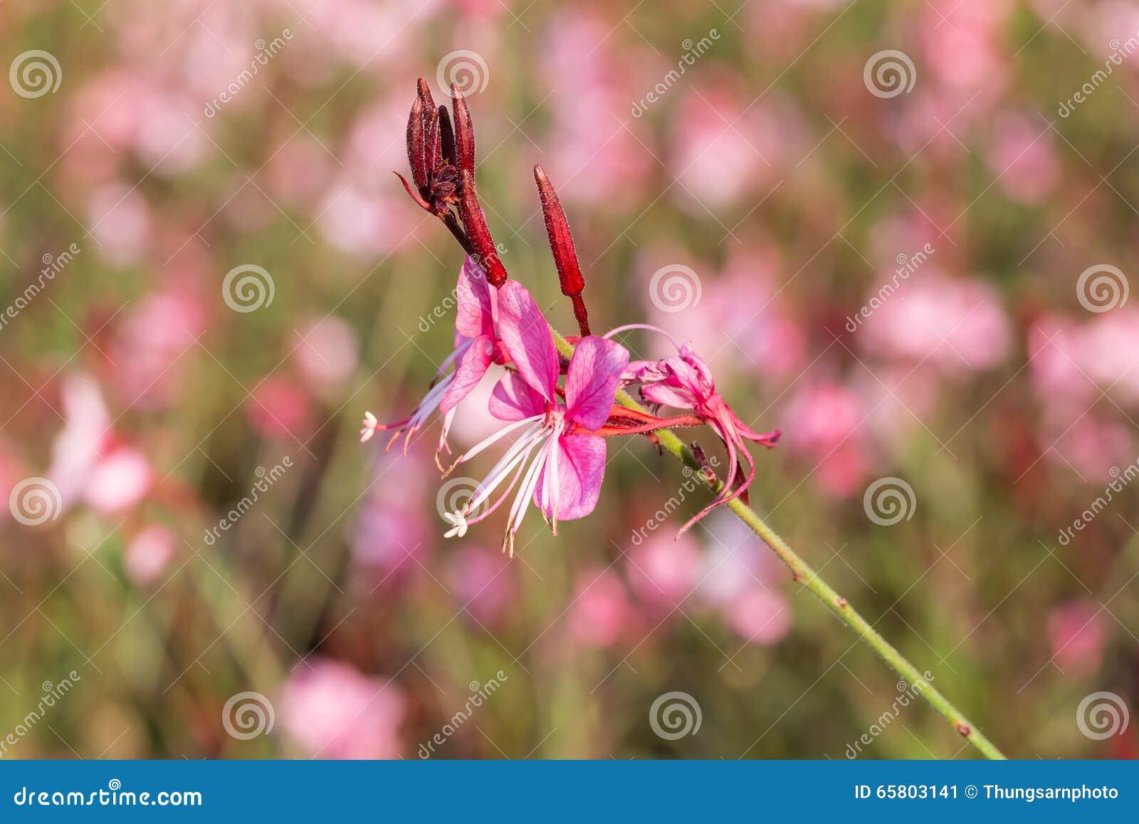 Gaura lindheimeri lub Kłębiasty motyla kwiat