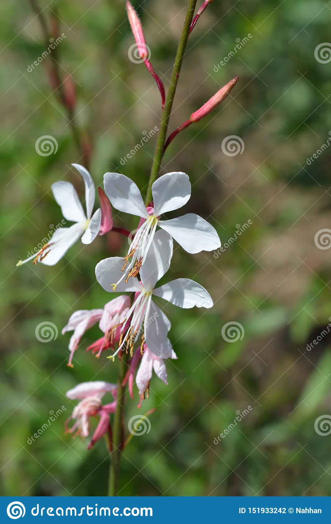 Gaura Whirling Butterflys