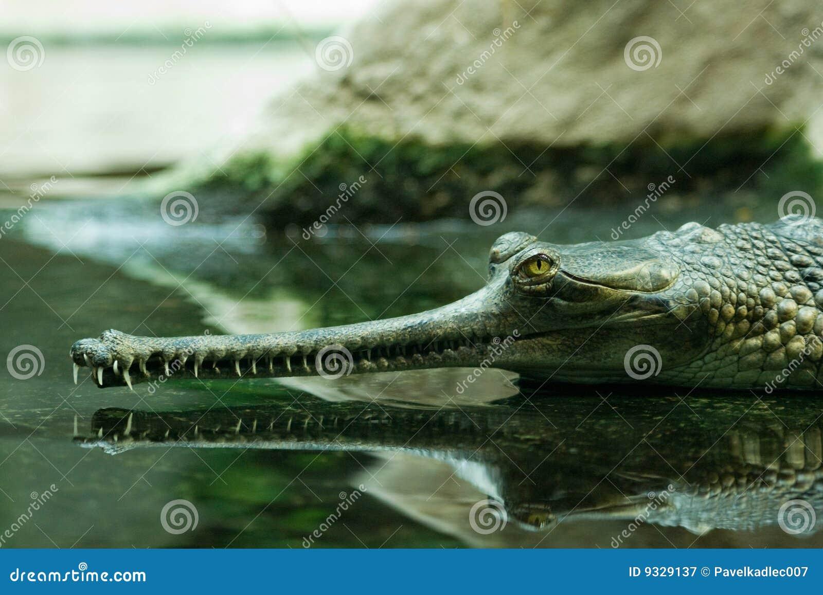 Gavial水