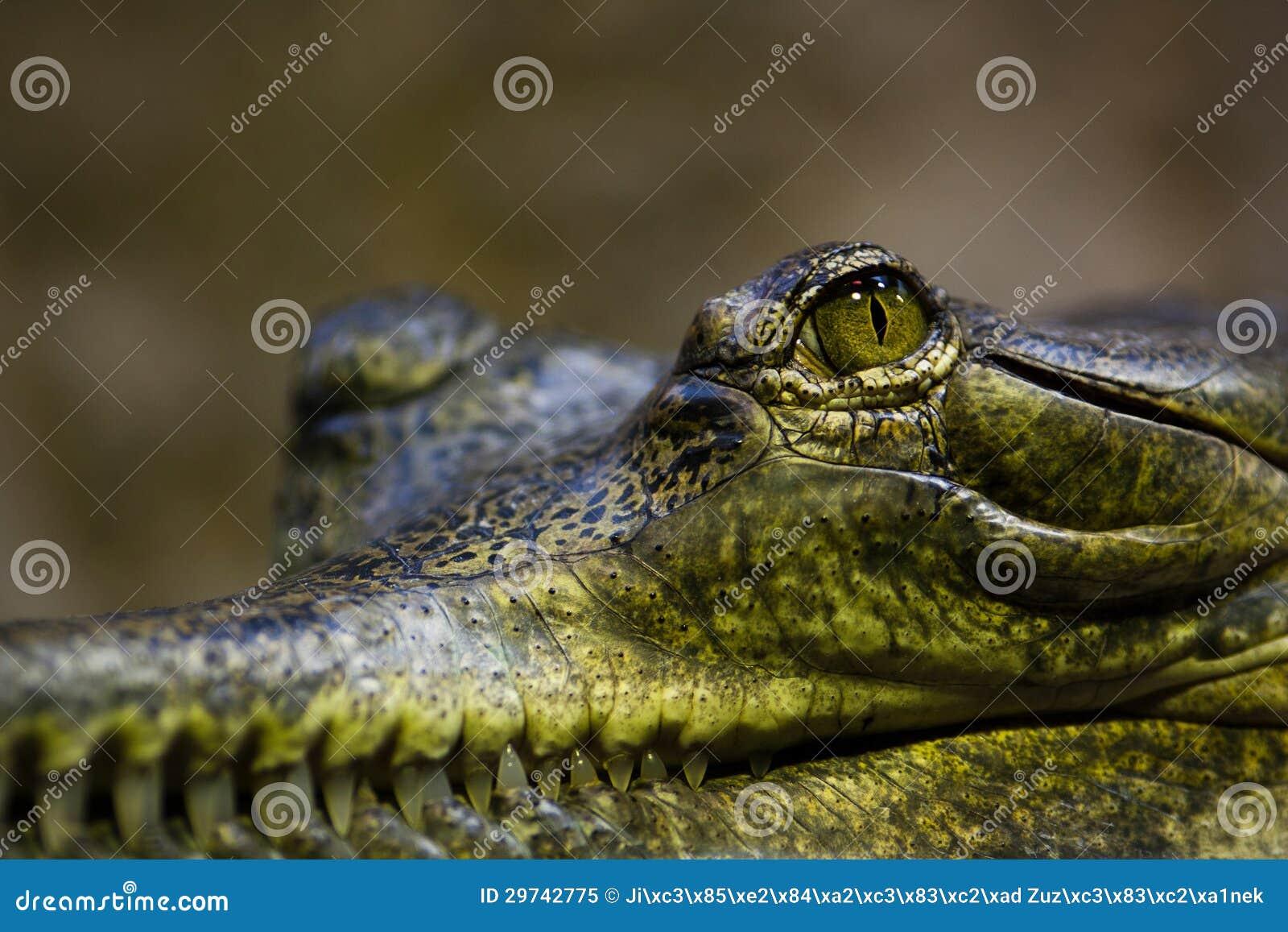 Gavial Alligator