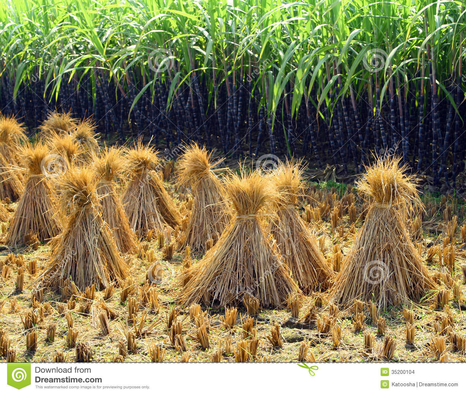 Gavilla del arroz después de la cosecha en el campo