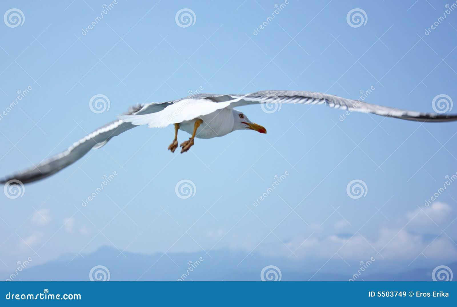 Gaviota del vuelo