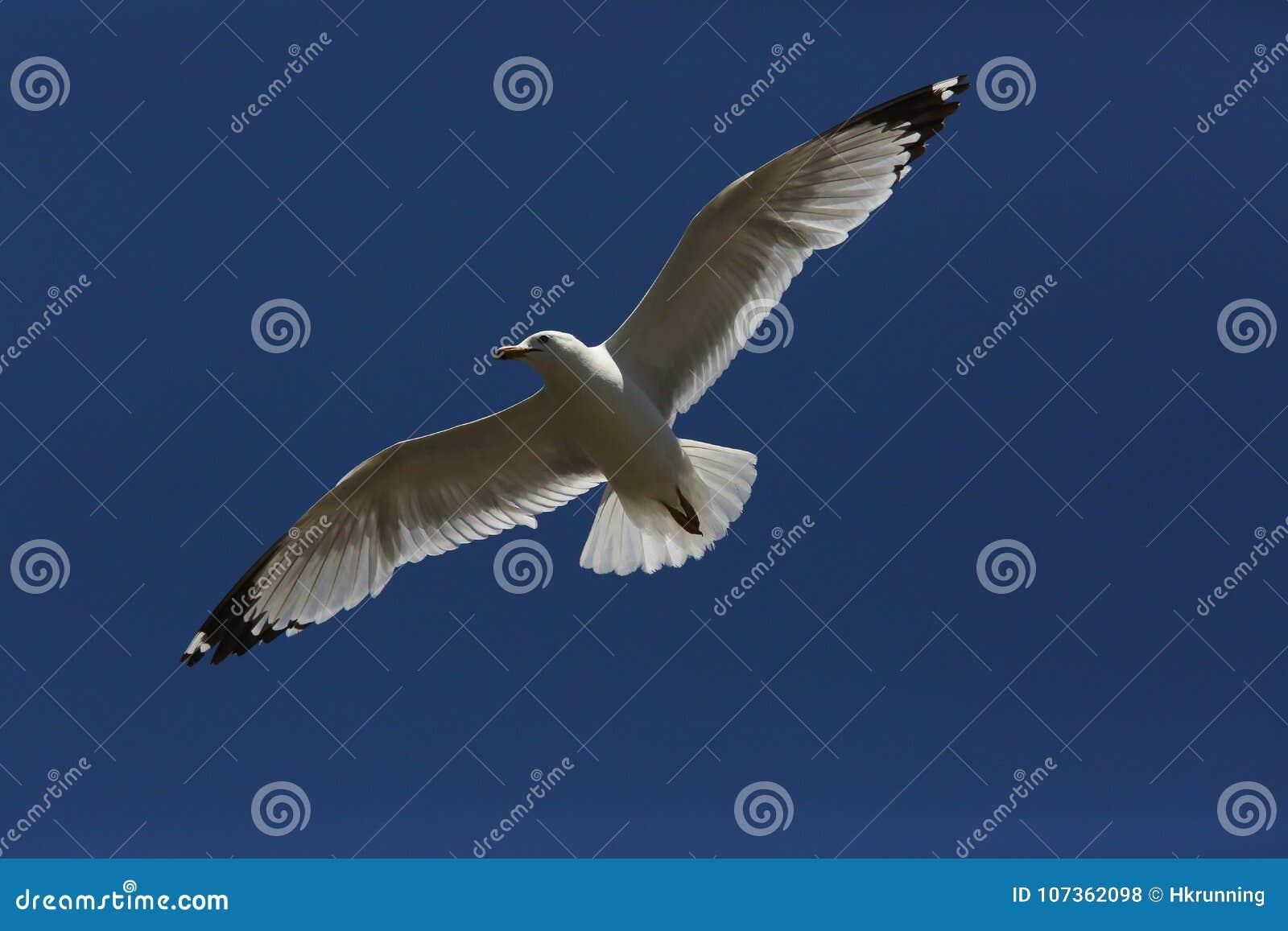 Gaviota del vuelo en el cielo