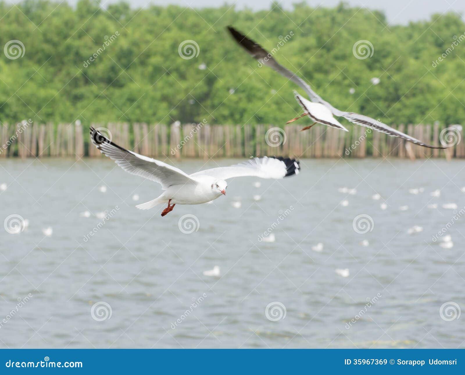 Gaviota del vuelo sobre el agua