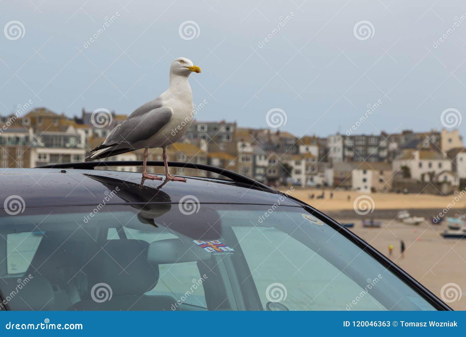 Gaviota en el tejado del coche
