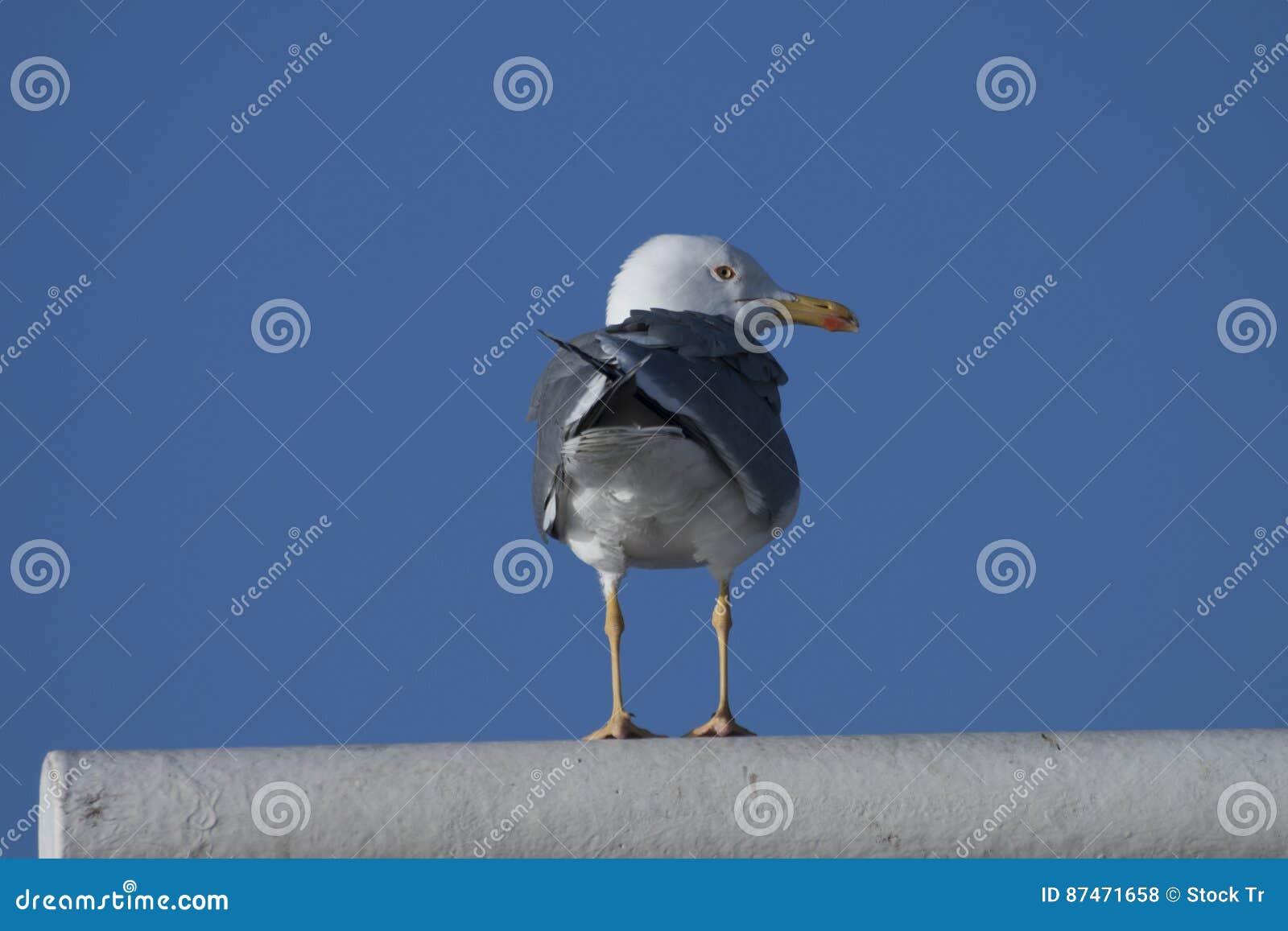 Gaviota en vuelo