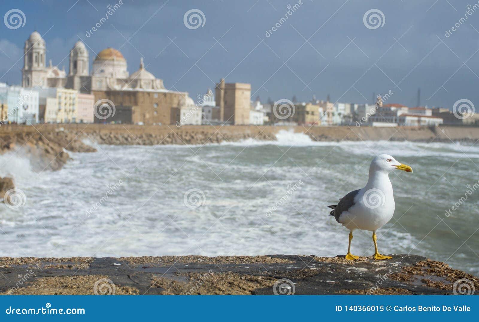 Gaviota que mira el horizonte en Cádiz
