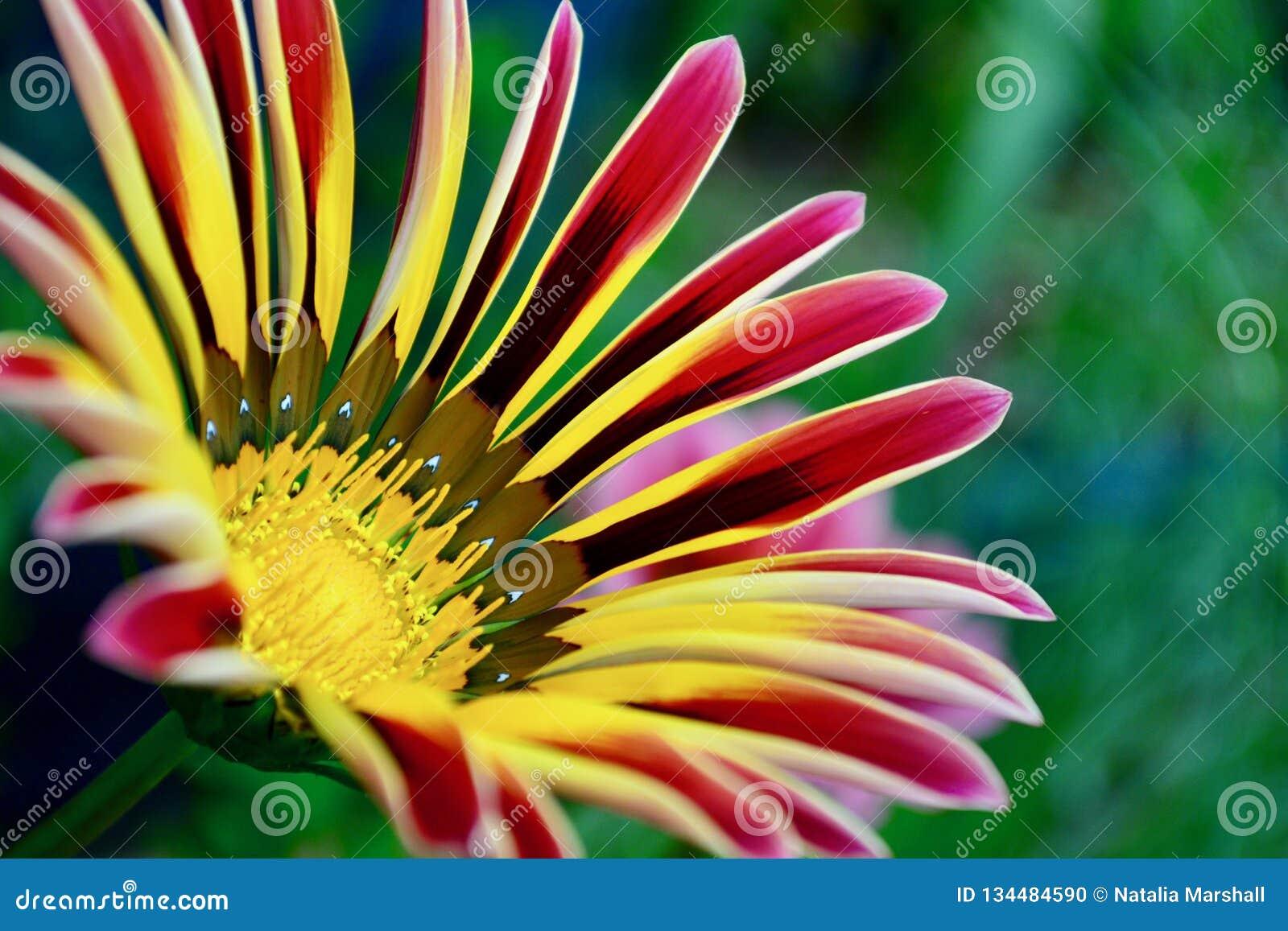 A close-up photo of a beautiful garden gazania flower.