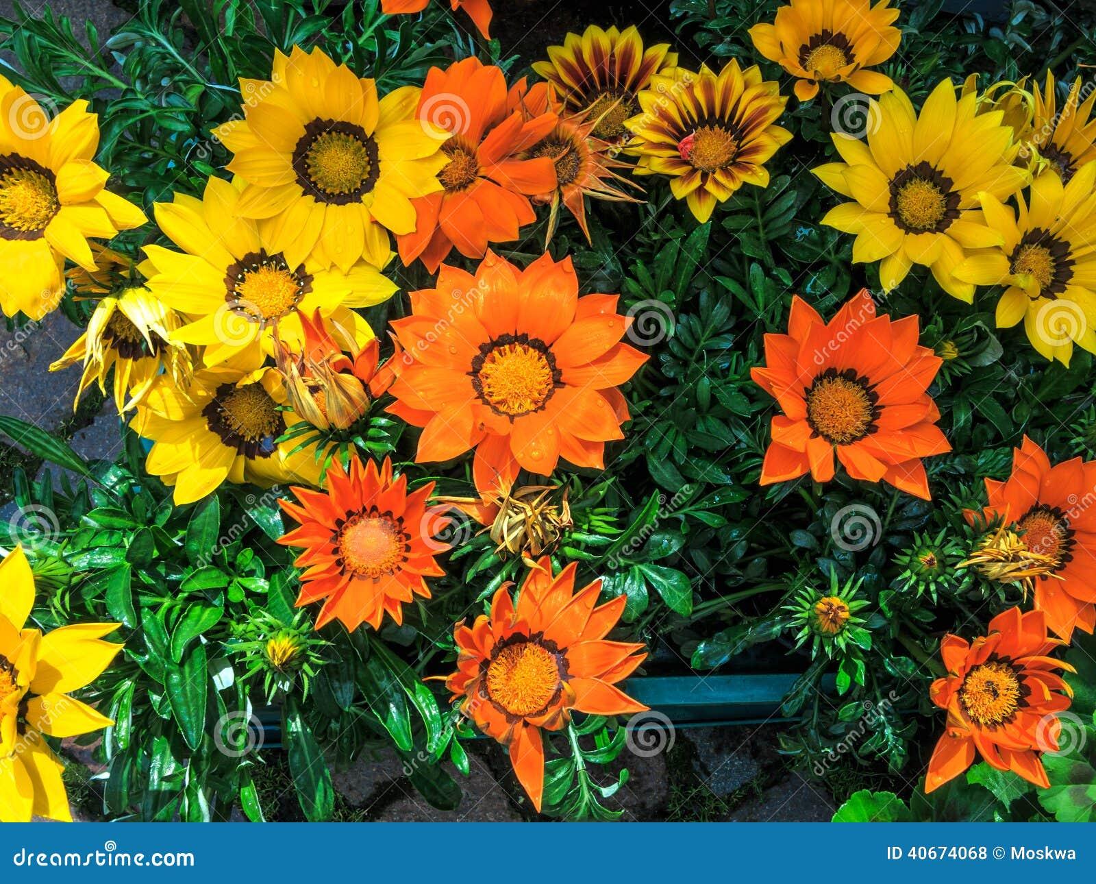 Gazania fleurissant color lumineux galement connu sous for Les noms des fleurs