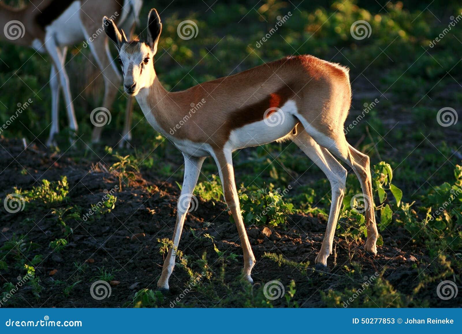 Gazela africana selvagem