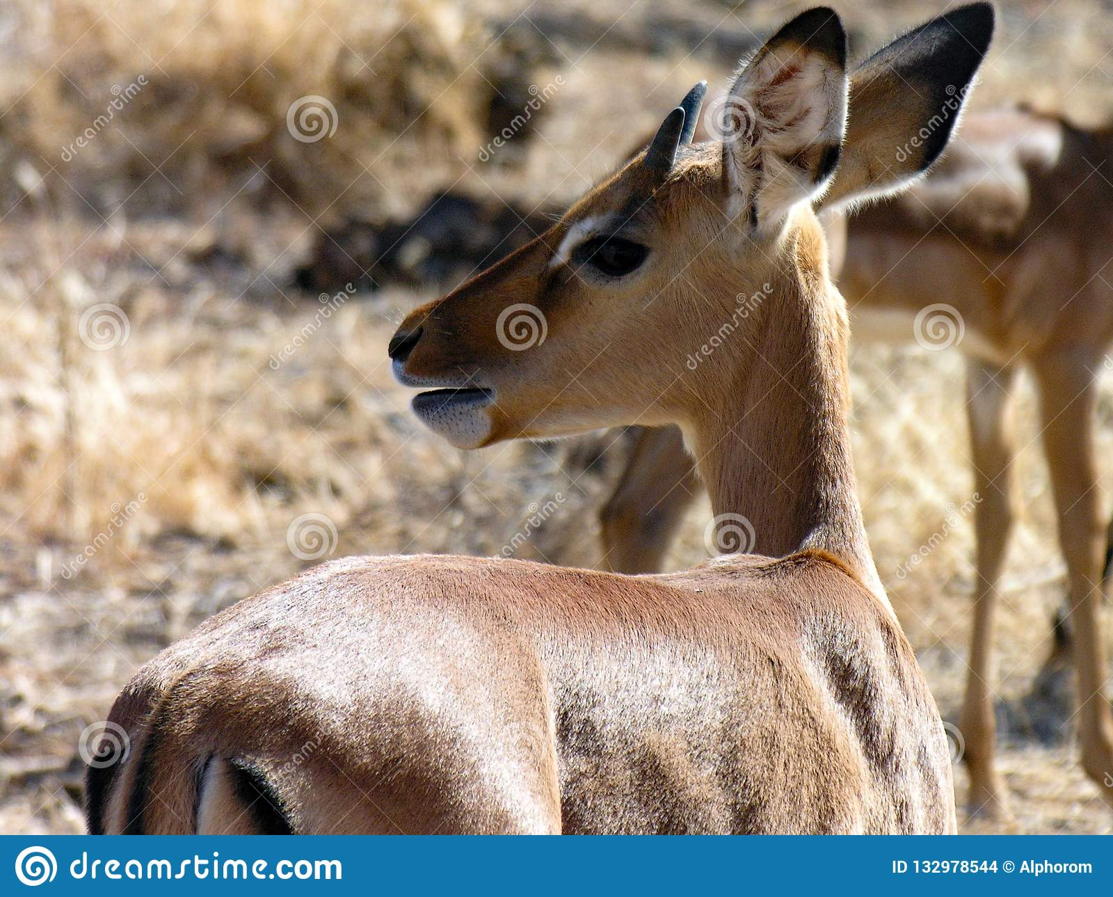 Gazela, Samburu Krajowa rezerwa, Kenja