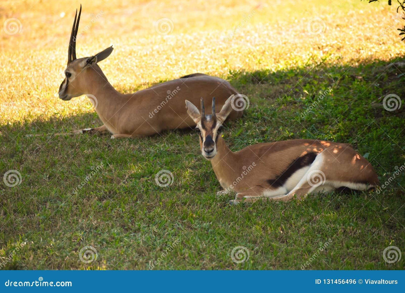 Gazelas que descansam na pradaria verde As gazelas podem alcançar velocidades de 55 milhas um a hora em jardins de Bush