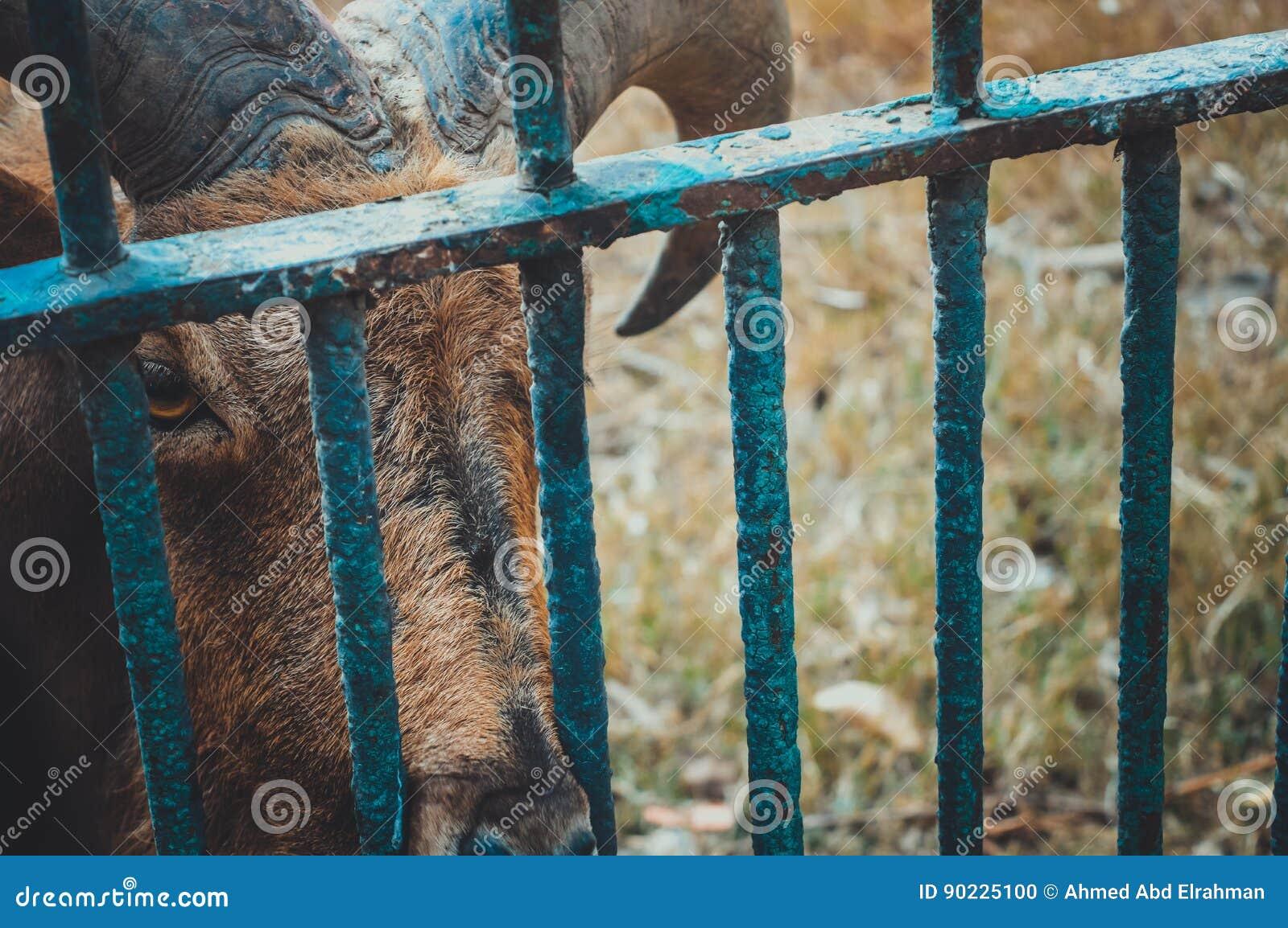 Gazella im Käfig