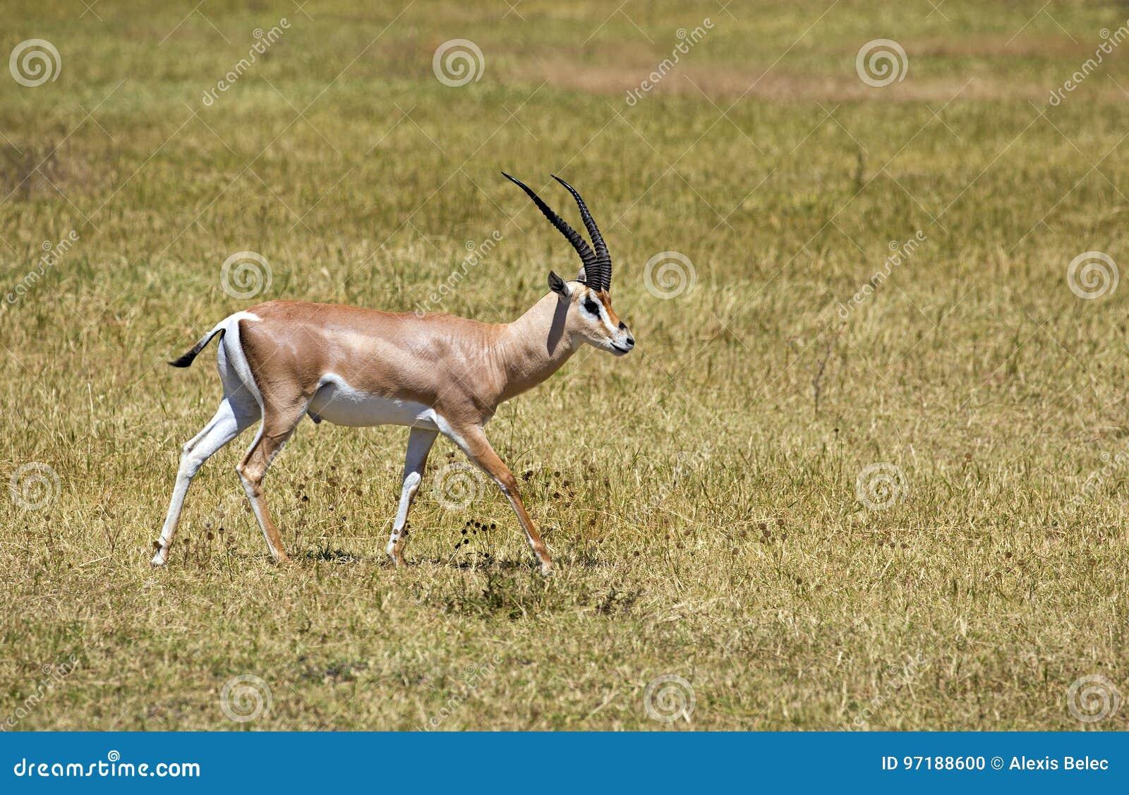 Gazelle africaine de concession