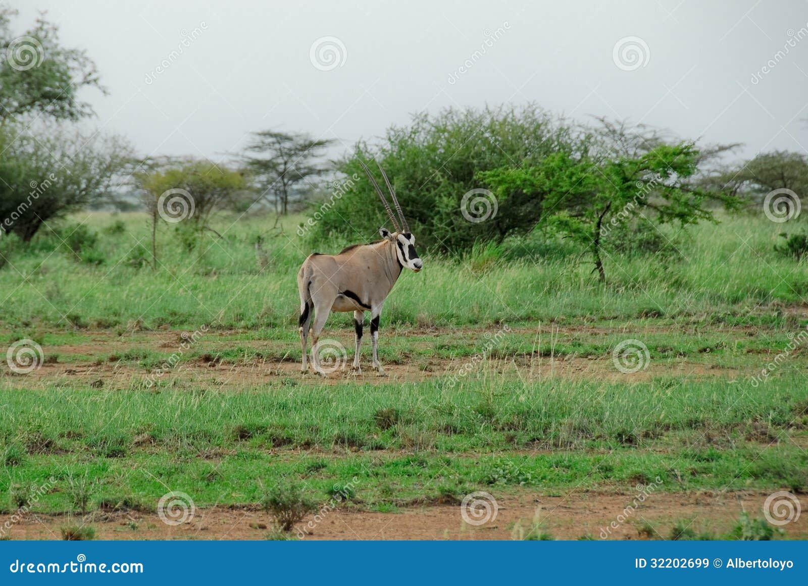 Gazelle d oryx, parc national inondé (Ethiopie)