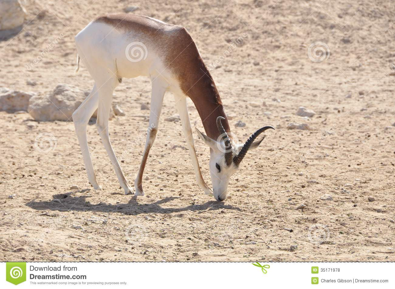 middle eastern singles in gazelle One of the more neglected parts of the bible is the song of songs (also called the song of solomon)  right in the middle of  my beloved is like a gazelle or.