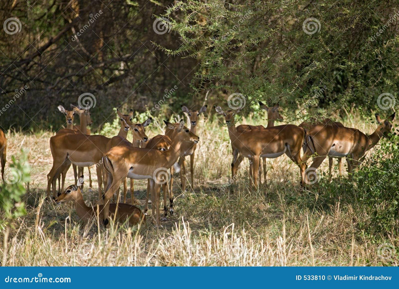 Gazelle dos animais 012