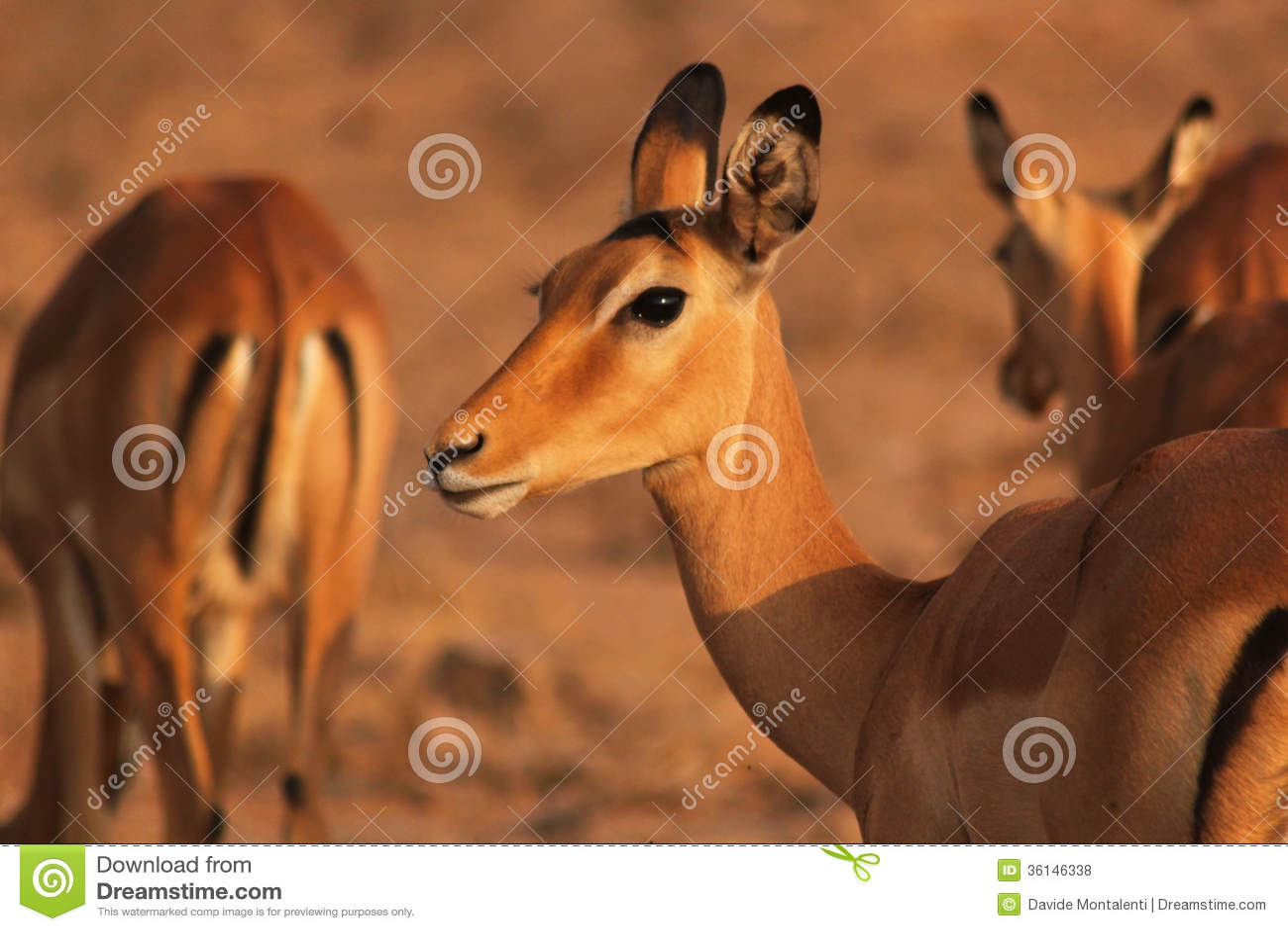 Royalty free stock photos gazelle face safari kenya