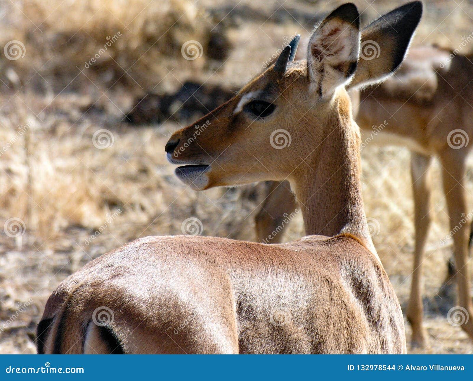 Gazelle , Samburu National Reserve, Kenya