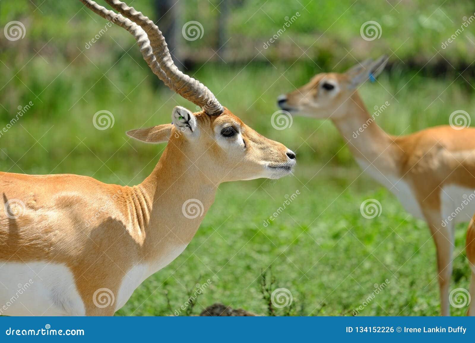 Gazelles: Close-up view