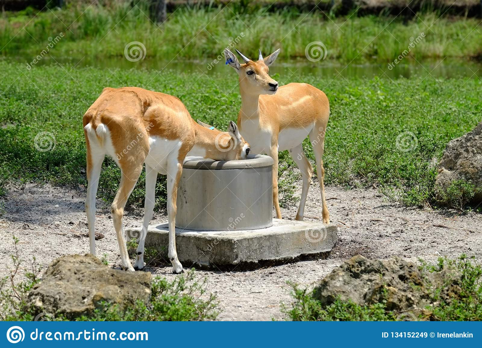 Gazelles: Drinking from the well