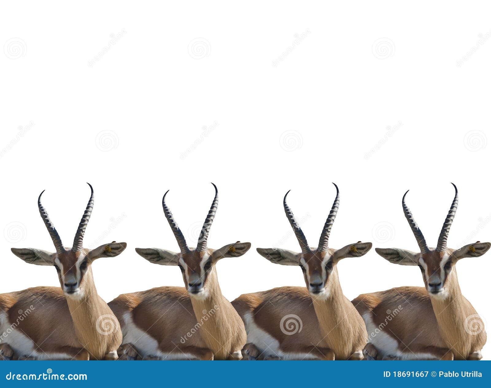 Gazelles thompson