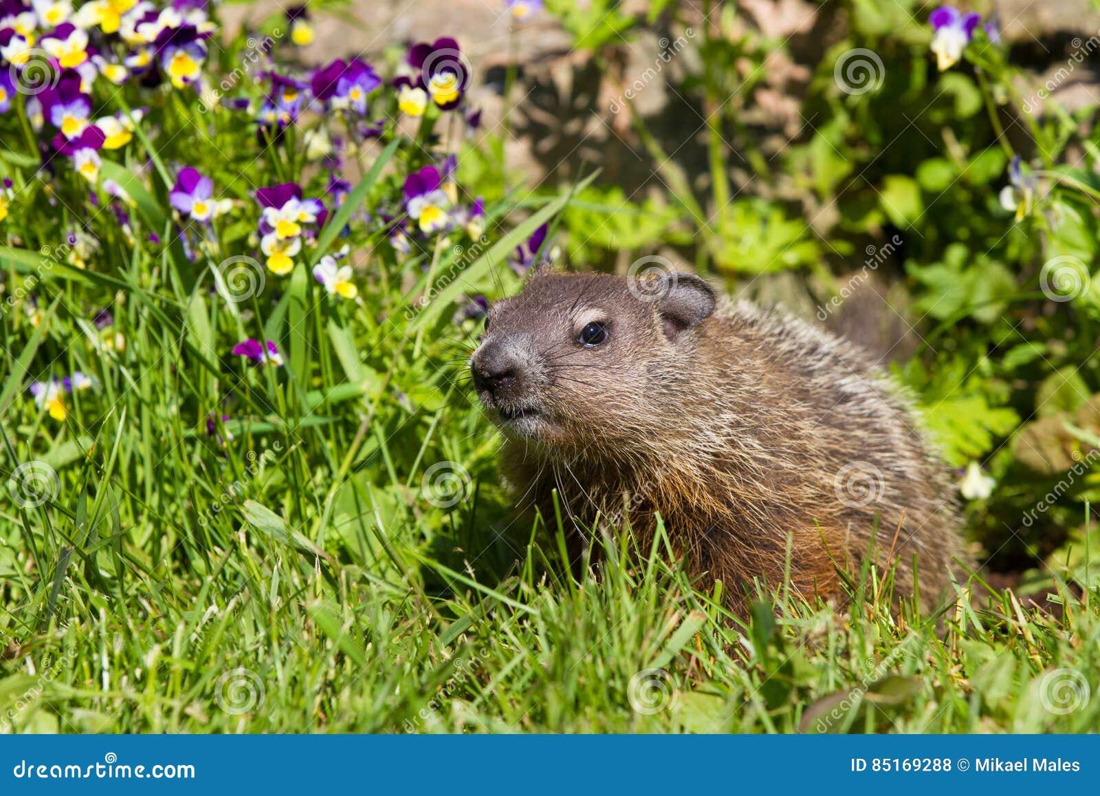 Gderliwy groundhog