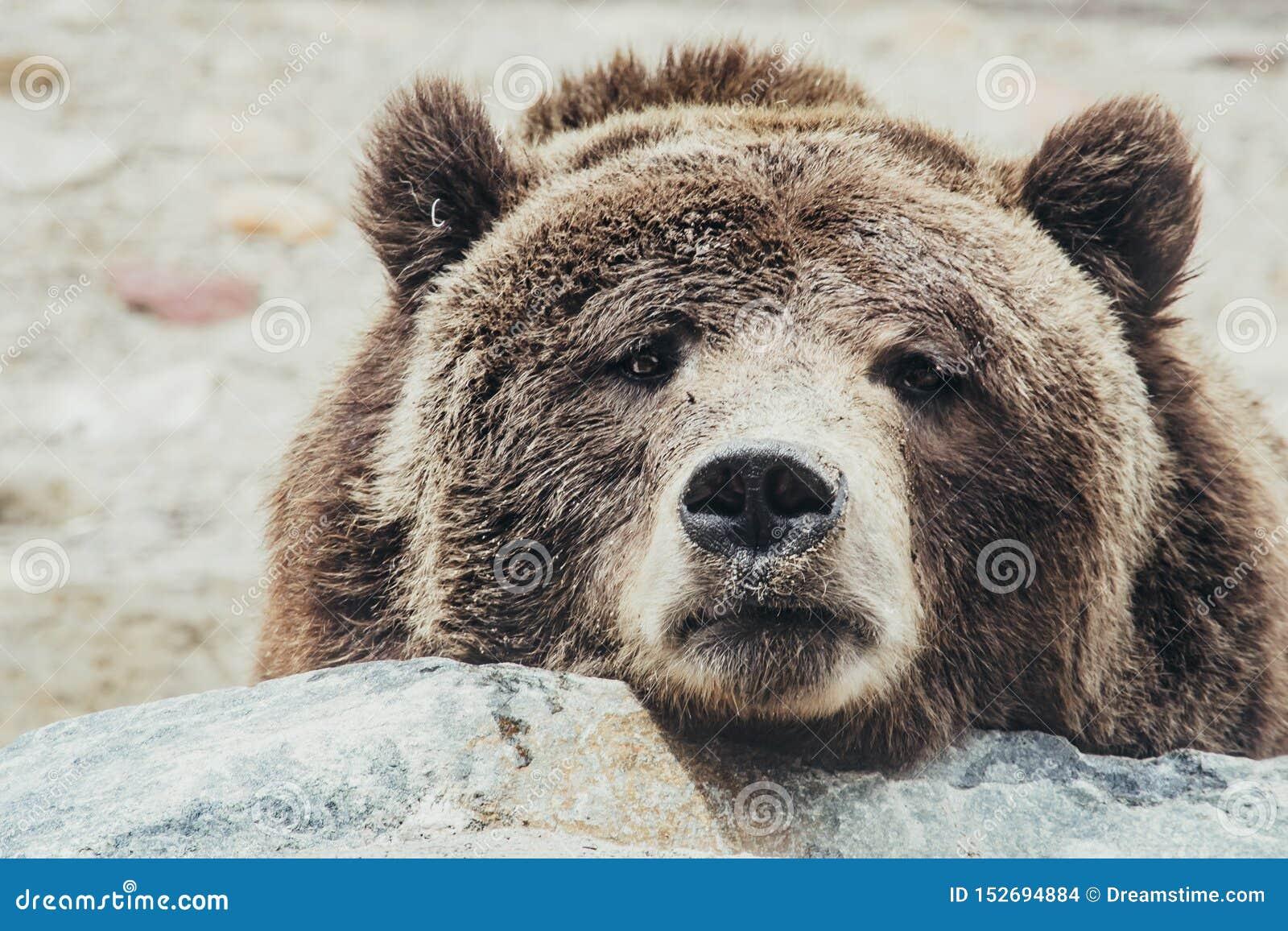 Gderliwy niedźwiedź brunatny
