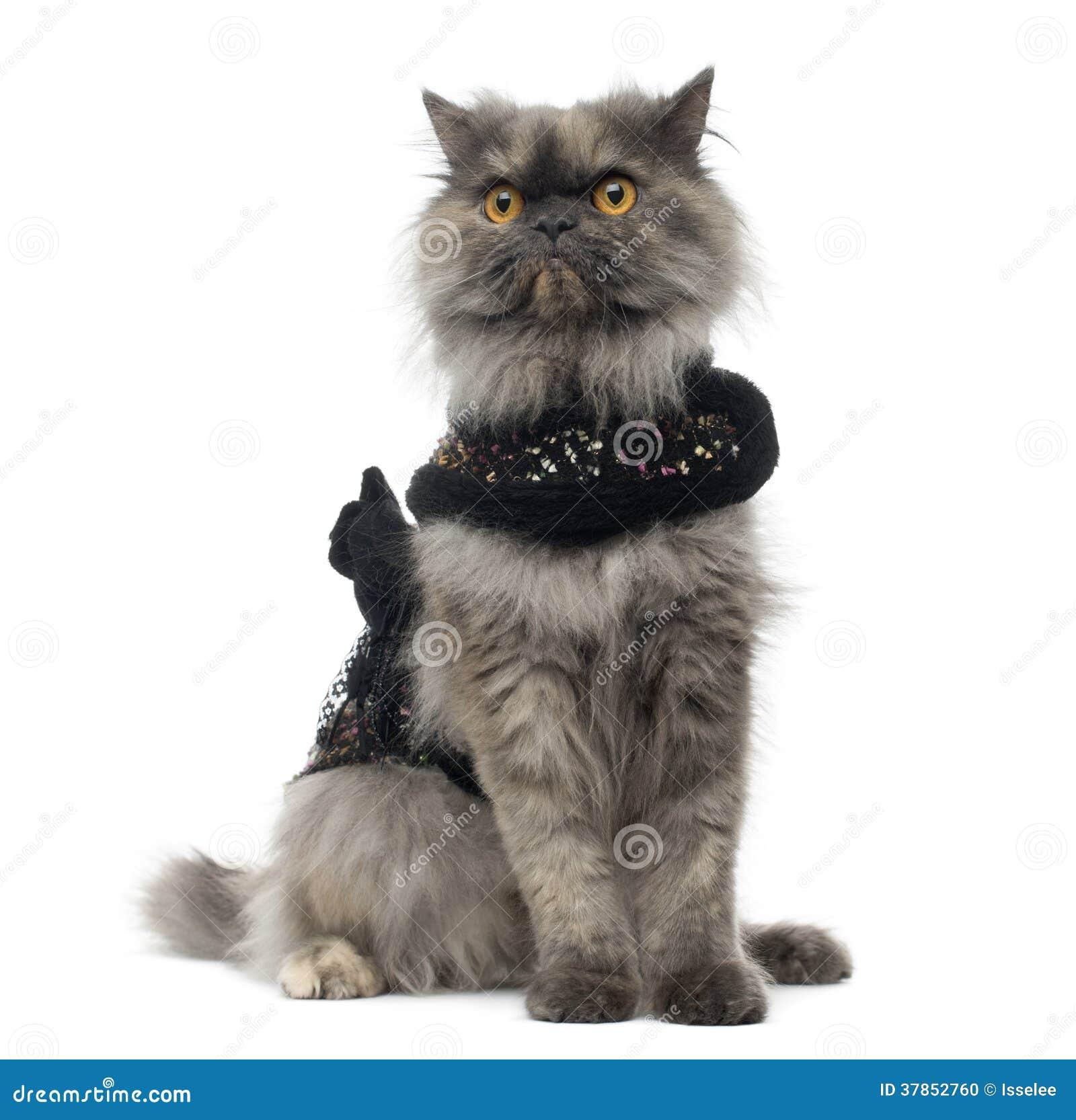Gderliwy Perski kot jest ubranym błyszczącą nicielnicę