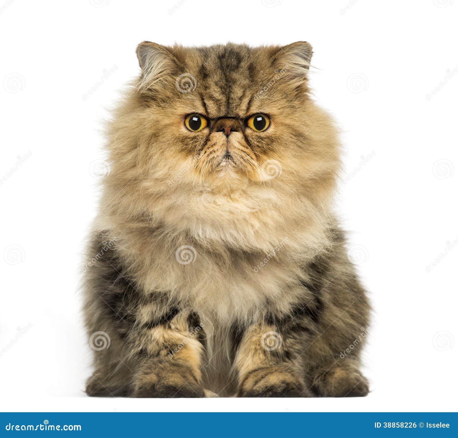 Gderliwy Perskiego kota stawiać czoło, patrzeje kamerę