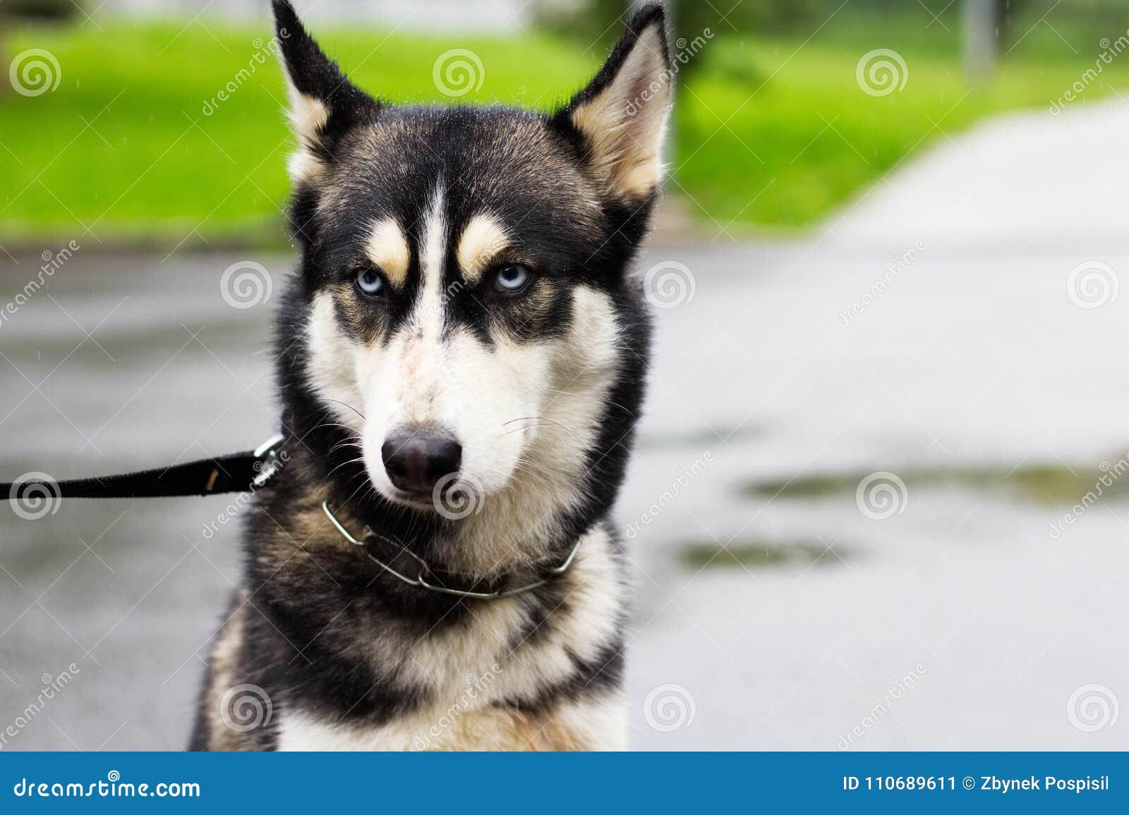 Gderliwy pies w deszczu, siberian husky