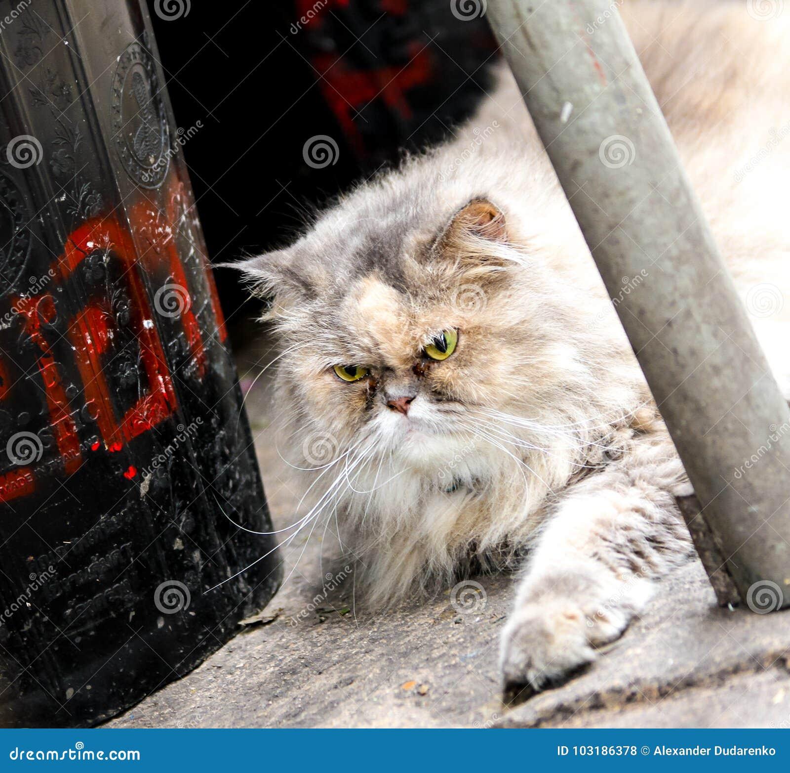 Gderliwy przyglądający puszysty kot z zielonymi oczami