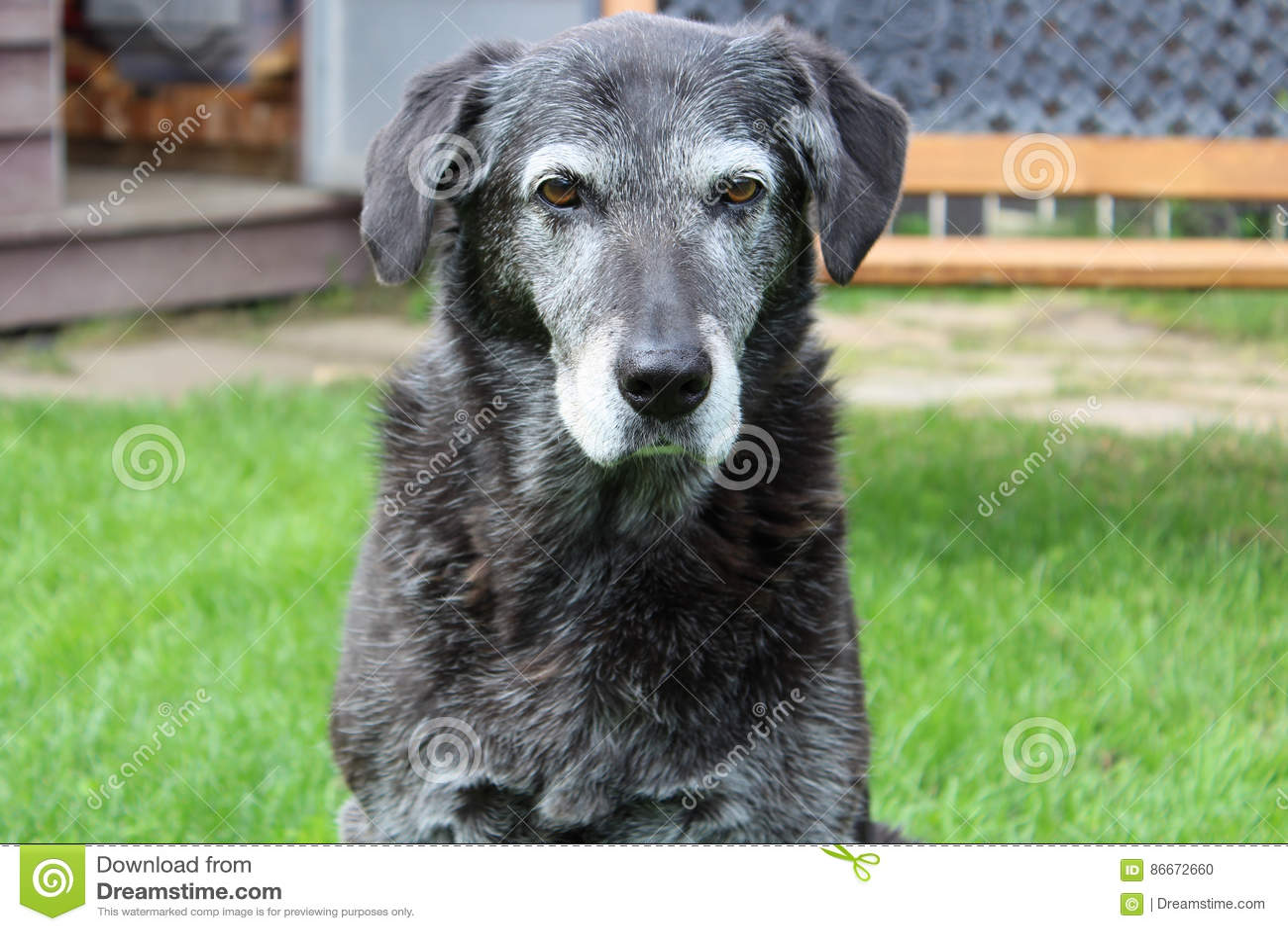 Gderliwy seniora pies w podwórku