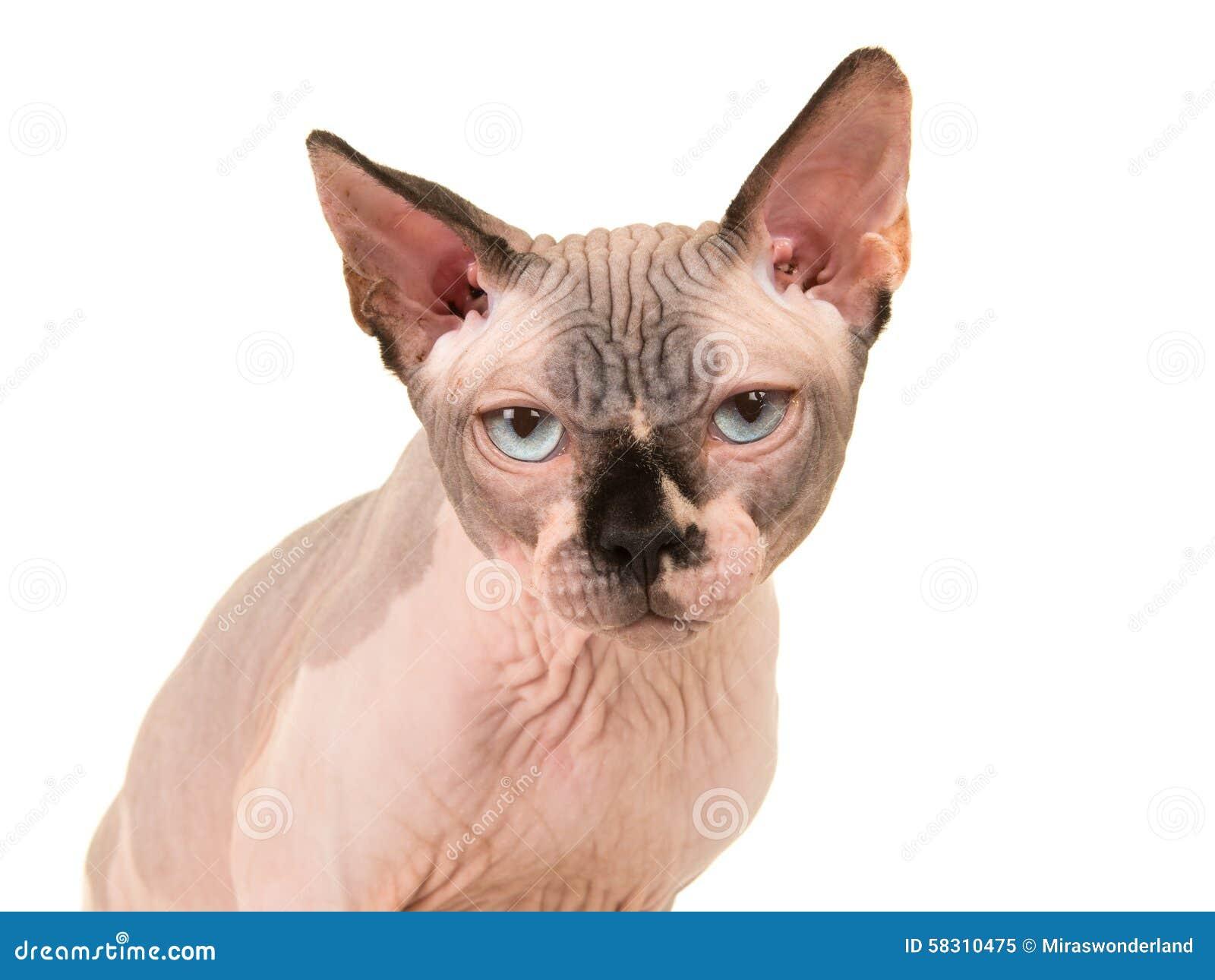 Gderliwy sfinksa kota portret