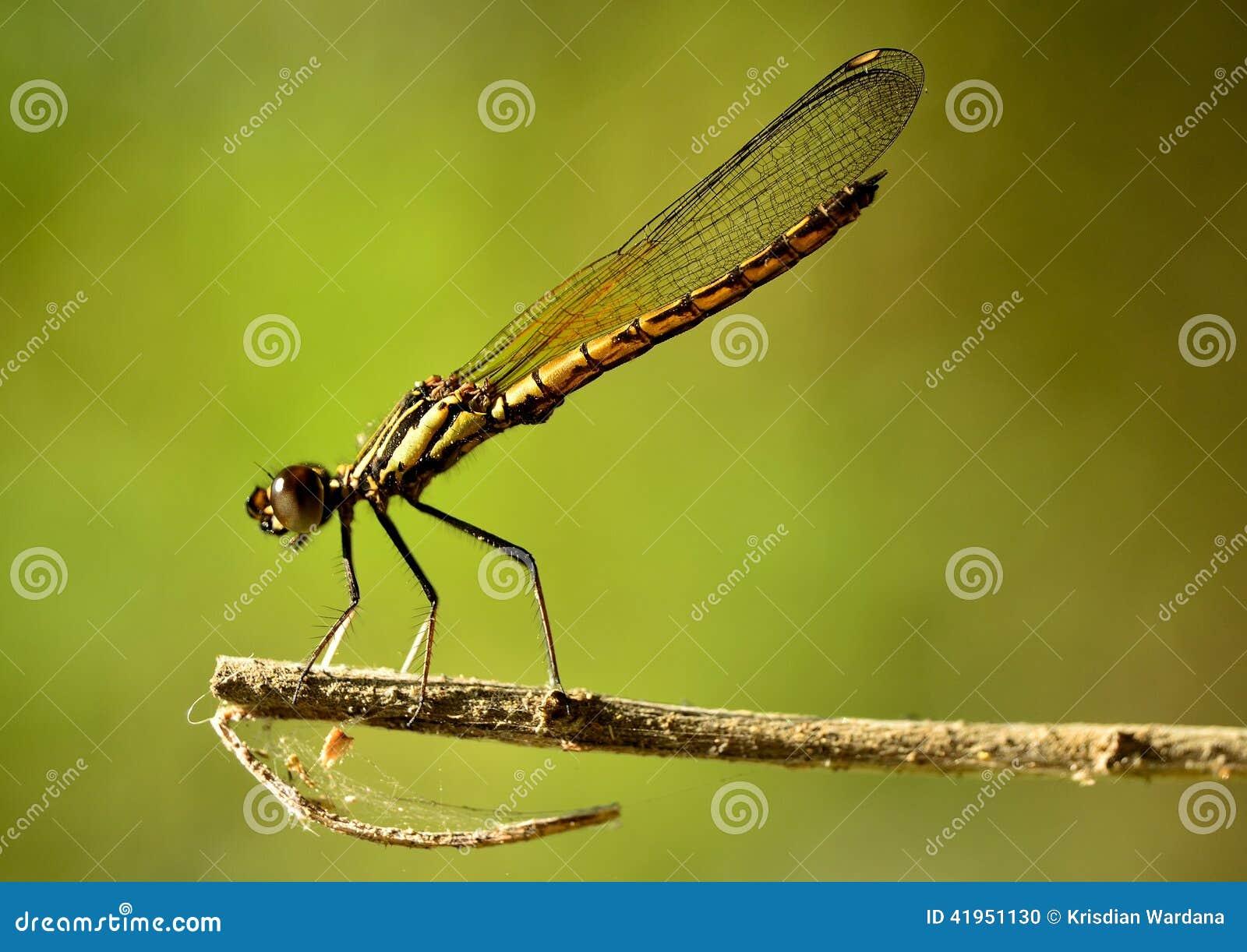 Gdy Dakocan Dragonfly wygrzewa si? w cieple s?o?ce