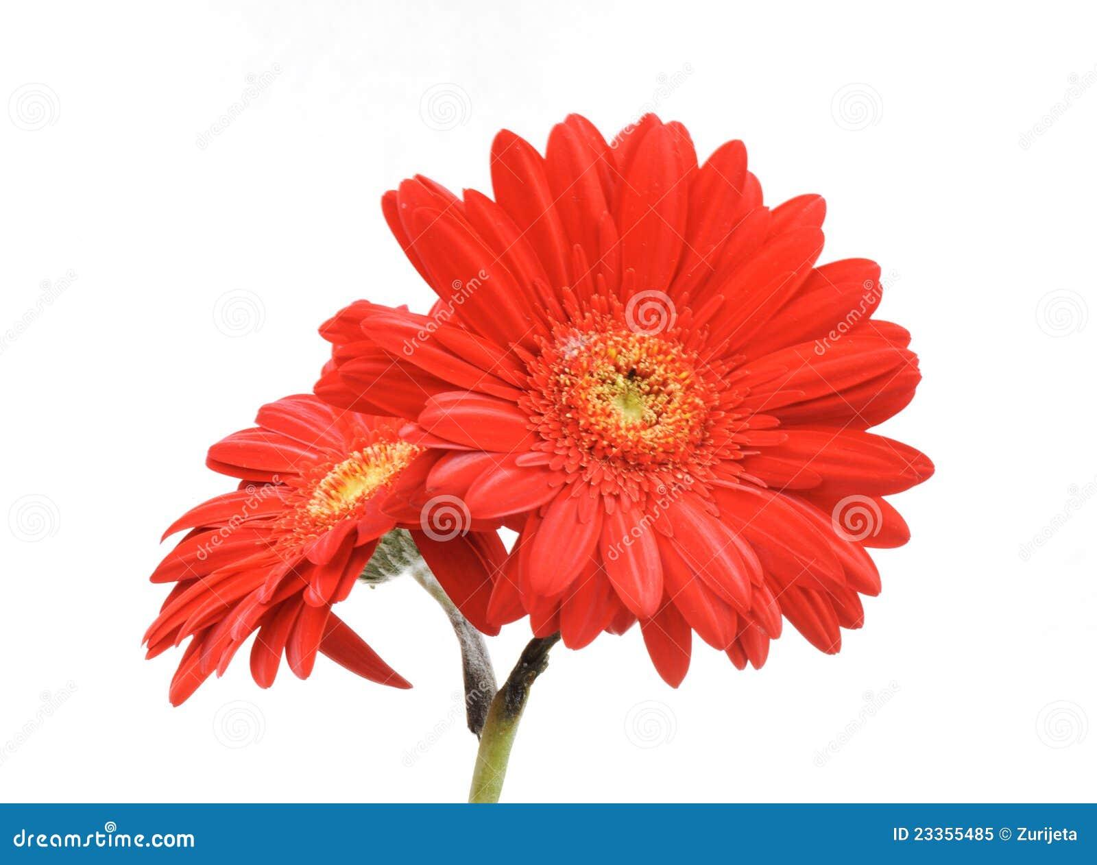 Geïsoleerde de bloem van Gerbera
