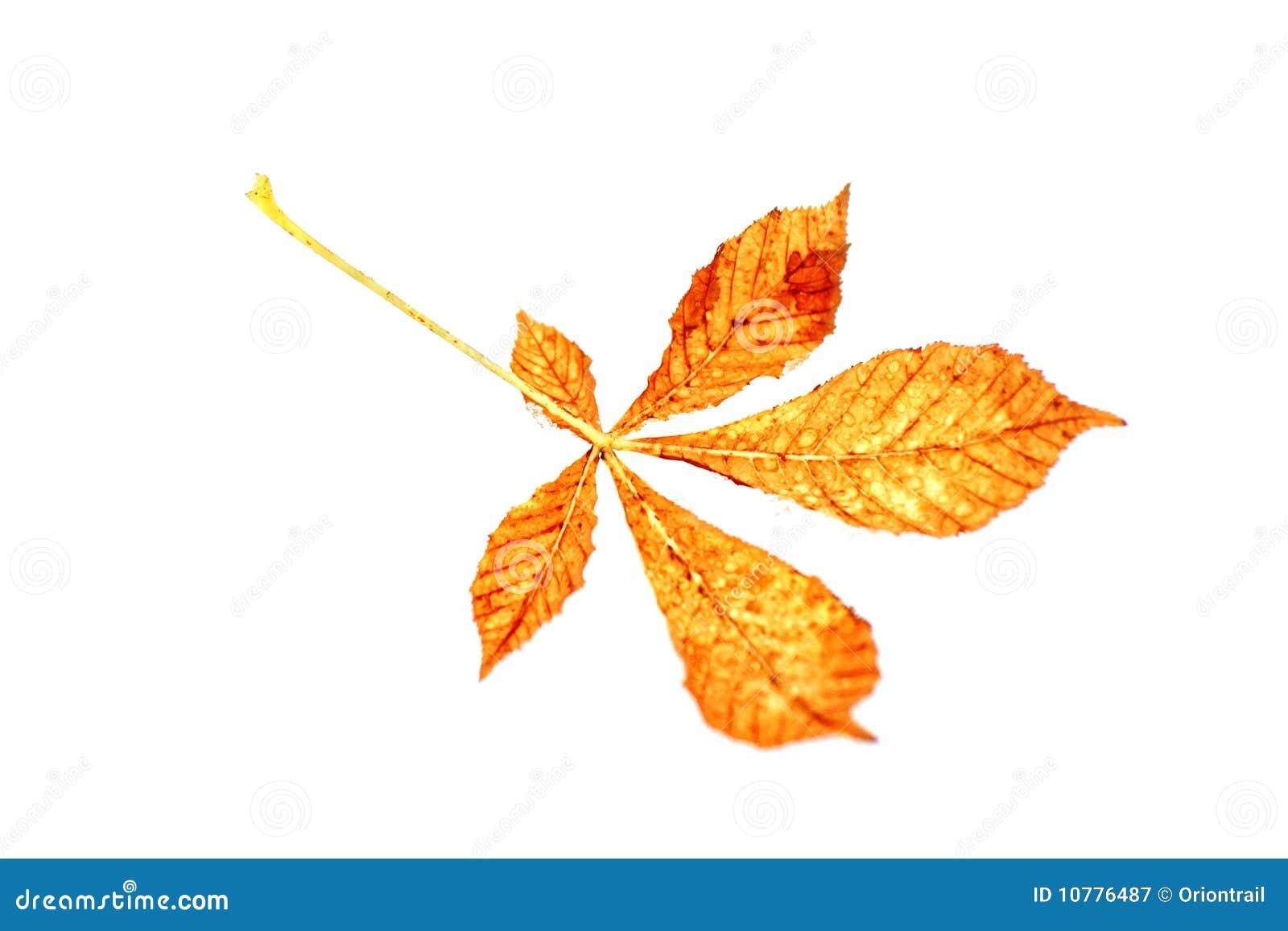 Geïsoleerde de herfstblad