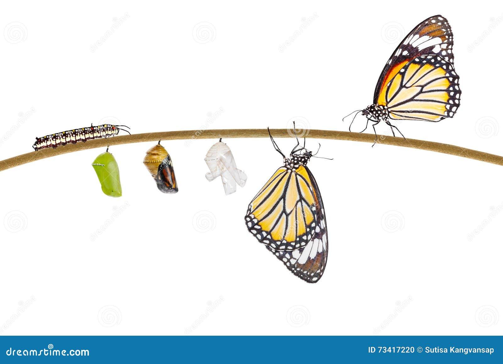 Geïsoleerde transformatie die van gemeenschappelijke tijgervlinder te voorschijn komen uit