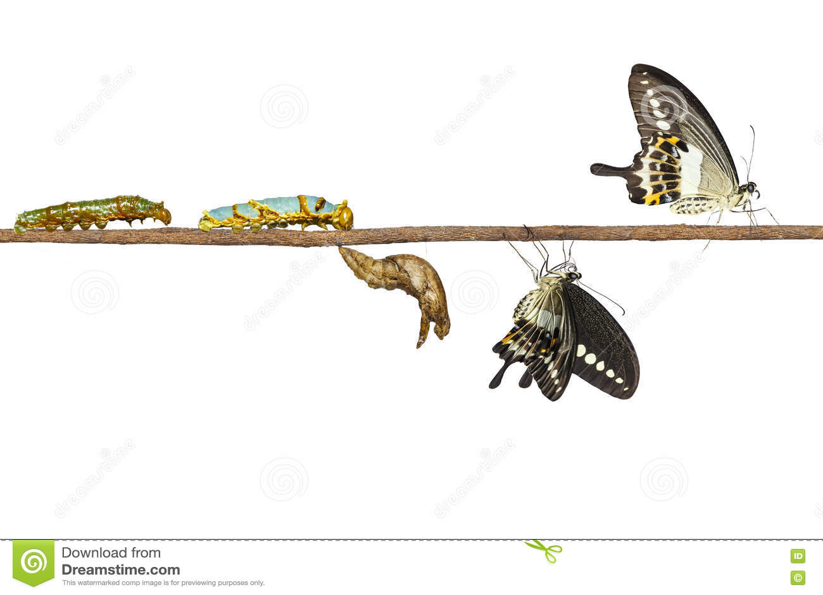 Geïsoleerde transformatie van gestreepte swallowtail vlinder Papilio