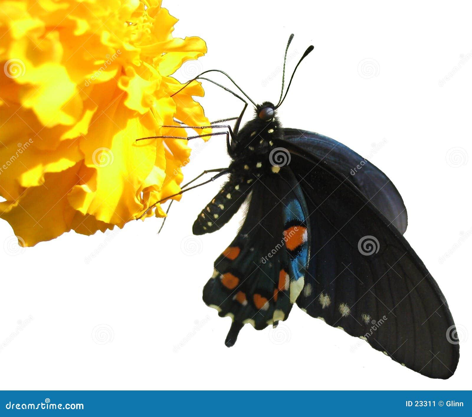 Geïsoleerde vlinder